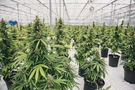 Buy Wholesale Cannabis Seeds – Buy Cannabis Seeds For Sale - Growers Choice Cannabis Seeds