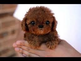 top 10 miniature dog breeds you