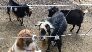 Goat Fencing 3 Most Popular Types