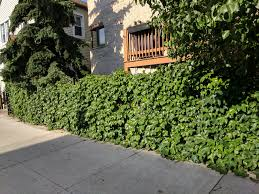 Boston Ivy On A Metal Fence Gonna Try To Do This To Our Chain Link Fence Out Back Derek Broox Com