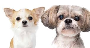 shih tzu chihuahua mix is this the