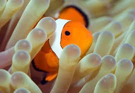 Image result for دلقک ماهی و شقایق دریایی