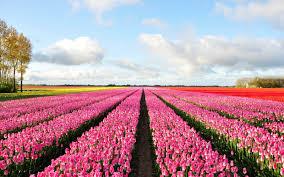 إليكم أجمل صور أزهار التوليب مجلة فن التصوير