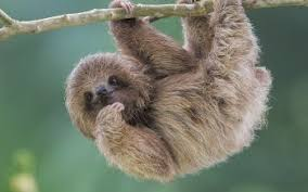 sloth hd wallpapers background images