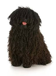 dogs with hair not fur