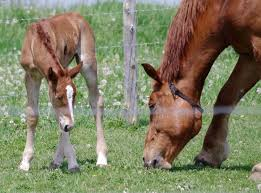 feeding your broodmare foran equine