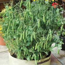 growing green peas in conners matar