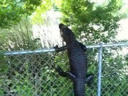 Ninja Gator Alligator Climbs Fence Youtube