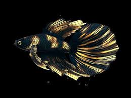 betta fish live wallpaper free you