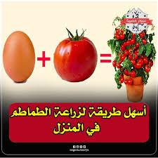 نجوم مصرية | أَسهل طريقة لزراعة الطماطم في المنزل