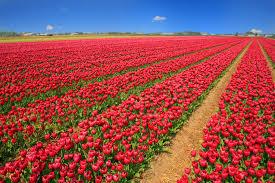 منظر طبيعي ورد احمر