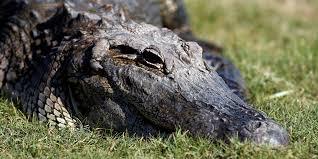Massive Alligator Chases Kayaker Bo Storey In Georgia Insider