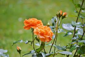 صور لـ البرتقالي حديقة ورود العروض زهور زهرة روز بلوم
