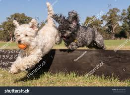 Dogs Jumping Small Fence Stock Photo Edit Now 305150456