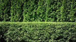 Best Shrubs For Making Privacy Hedges Old Farmer S Almanac