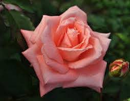 Sonja' rose | Pink Hybrid Tea rose