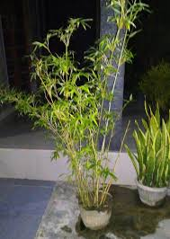 bamboo as an ornamental plant in pots