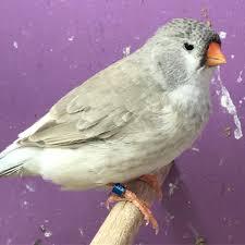 صور طيور الزيبرا طيور الزينه الجذابه رمزيات