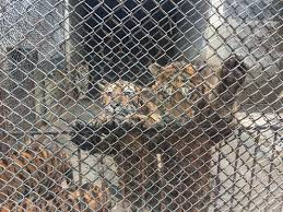 Lion And Tiger Farming May Be Inhumane But We Don T Know If It Increases Poaching