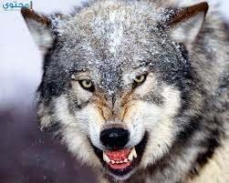 خلفيات وصور ذئاب جميلة Wolves موقع محتوى