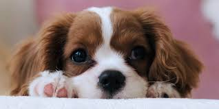ethical sites for puppy adoption