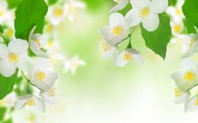 صور خلفيات ورد الياسمين صور ورد وزهور Rose Flower Images