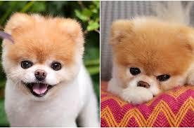 boo the world s cutest dog has d