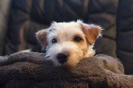 Pin by Jacqueline Viljoen on Dogs in 2020 | Jack russell terrier, Jack  russell, Dog breeds