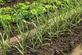 wide row vegetable garden beds