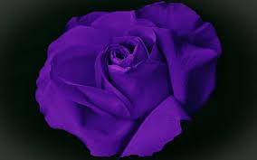 تحميل خلفيات وردة البنفسج ماكرو زهور البنفسج الزهور الجميلة