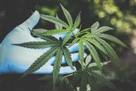 Legalizing Medical Marijuana Makes People Have More Sex, Study ...