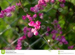 Tropical Flower In Sunny Garden Photo Sweet Peas Closeup On Fence Stock Photo Image Of Peas Flora 97629512