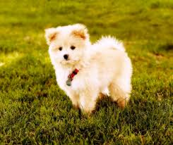 list of poodle cross breeds ranked via