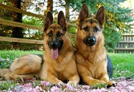 top 5 best dog foods for german shepherds