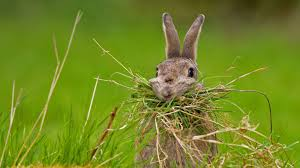 nesting rabbit bing wallpaper