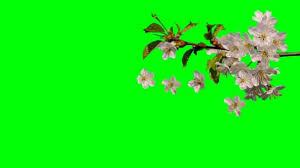white flowers of spring falling green