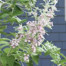 erfly bush buddleia crispa