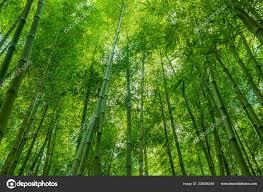 bamboo green forest wallpaper nature