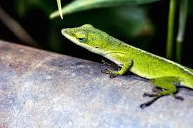 Безкоштовна картинка: GEICO ящірка природа, дика природа, рептилій