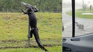 Alligators Caught Climbing Fences And Exploring Suburban Streets In Florida 7news Com Au