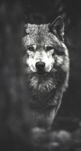 wolf phone wallpapers top free wolf