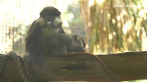 meet the houston zoo s new baby monkey
