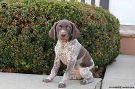 macy german shorthaired pointer puppy