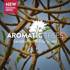 الأشجار العطرية الصندل و البلومريا الفرانجيباني مقالات