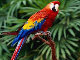 28507 scarlet macaw wallpaper