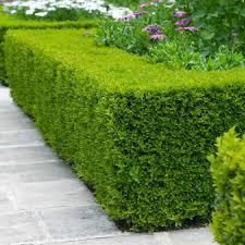 Wintergreen Boxwoods For Sale Fastgrowingtrees Com