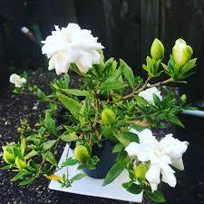 how to grow gardenias indoors top care
