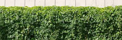 Best Kinds Of Vines To Use For Your Fence Ranchers Fencing Austin Tx