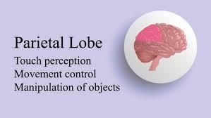 parietal lobe the definitive guide