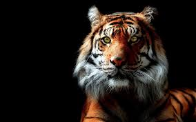 tiger wallpapers hd free